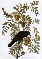 john-james-audubon-american-crow-1.jpg