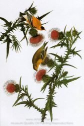 john-james-audubon-american-goldfinch-1.jpg