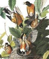 john-james-audubon-american-robin-1.jpg