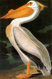 John James Audubon American White Pelican