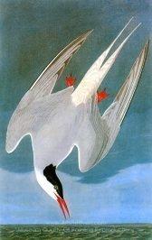 john-james-audubon-arctic-tern-1.jpg