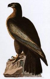 john-james-audubon-bald-eagle-01-1.jpg