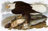 John James Audubon Bald Eagle