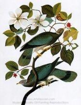 john-james-audubon-band-tailed-pigeon-1.jpg