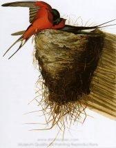 john-james-audubon-barn-swallow-1.jpg