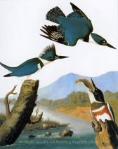 john-james-audubon-belted-kingfisher-1.jpg