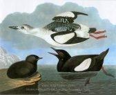 john-james-audubon-black-guillemot-1.jpg